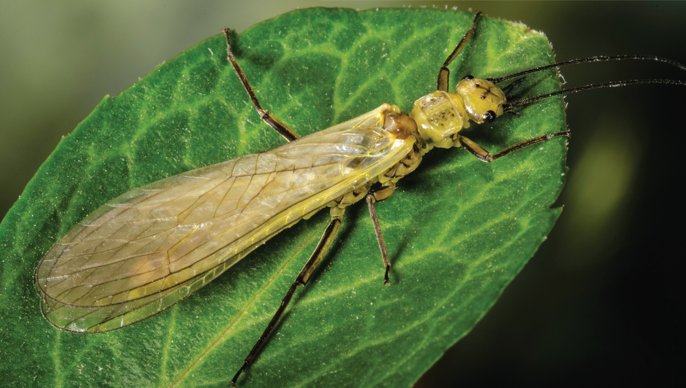 The bodies of yellow sally females can reach up to 14 millimeters long; the males are a little shorter. These insects have two tails and two long antennae. When not in flight, their wings fold over the tops of their abdomens.