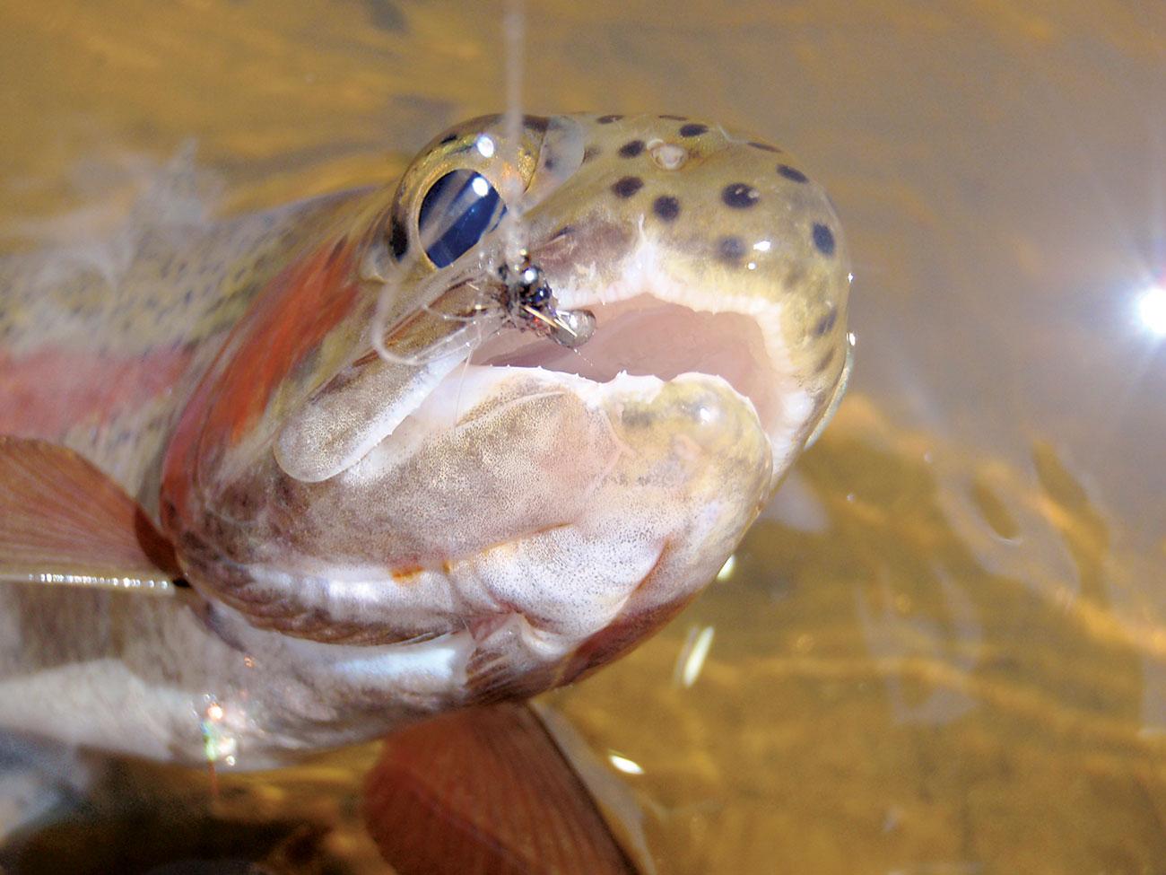 marabare-fish